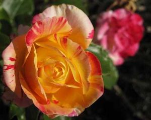 roses-jerome-2