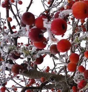 pommier-hiver